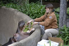 Zookeeper Feeds Hippo. Female zookeeper drops lettuce into the mouth of a hippo at the LA Zoo. Hungry hippo Stock Image