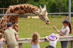 A zookeeper hand-feeding a giraffe. At Hamilton Zoo, New Zealand, a keeper feeds slices of carrot to a giraffe as children and their parents watch stock photo