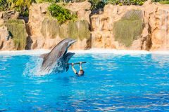 Zookeeper practicing with dolphins tricks in large pool. Animal caretaker royalty free stock image
