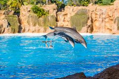 Zookeeper practicing with dolphins tricks in large pool. Animal caretaker stock photos