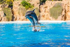 Zookeeper practicing with dolphins tricks in large pool. Animal caretaker royalty free stock photos