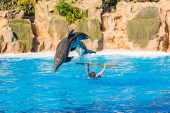 Zookeeper practicing with dolphins tricks in large pool. Animal caretaker royalty free stock photography
