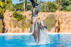 Zookeeper practicing with dolphins tricks in large pool. Animal caretaker stock images