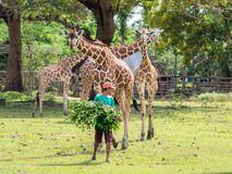A zookeeper preparing to feed a giraffe,Calauit Safari, Palawan, Philippines.Nov 15,2018. Nov 15,2018 A zookeeper preparing to feed a giraffe,Calauit Safari royalty free stock photos