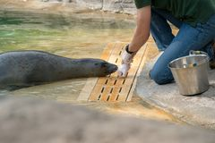 The Zookeeper working with a seal. `Lecornelle` zoo during the day royalty free stock images