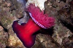 Zool-Seeanemone Actinia equina Lizenzfreies Stockbild