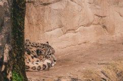 Zooleopardfången arkivbild
