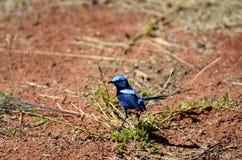 Zoologi australiska fåglar royaltyfri bild