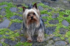 Zoologia, mały pies fotografia royalty free