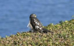 Zoologia, ptaki, Sparrowhawk fotografia stock