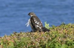 Zoologia, ptaki, Sparrowhawk zdjęcia royalty free