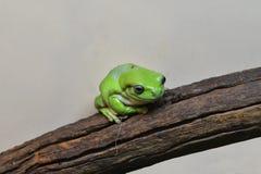 Zoologia, zielona żaba zdjęcie stock