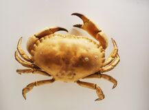 Free Zoological Darwin Museum. A Large Land Crab. Dried Scarecrow. Type Arthropods. Stock Photo - 181760300