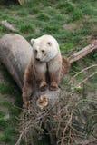 zoologiskt björnberlin trädgårds- germany foto Royaltyfri Foto