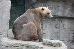 zoologiskt björnberlin trädgårds- germany foto Royaltyfria Foton