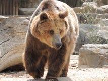 zoologiskt björnberlin trädgårds- germany foto Arkivbild