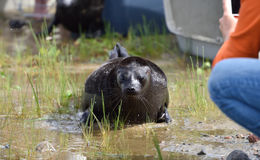 Zoologists released Ladoga ringed seals after rehabilitation Royalty Free Stock Images