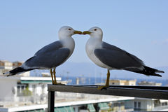 Zoology, Birds. Greece, two sea gulls on balcony Royalty Free Stock Image