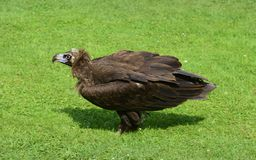 Zoology, Birds. Zoology, european griffon vulture bird Royalty Free Stock Image