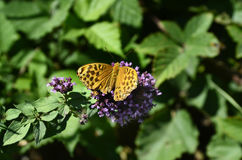 Zoology, Insects. Austria, silver-washed fritillary butterfly Stock Image