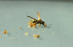 Zoology, Insects. Zoology, common wasp search for food Stock Photo