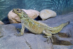 Zoology, reptile. Zoology, one female Sailfin Lizard Stock Images