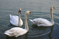 Zoology, Swan Royalty Free Stock Images