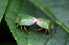 Zoology, Insects. Zoology, two stink bugs copulate Stock Images