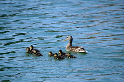 Zoology. Wild duck with ducklings on lake Stock Photos