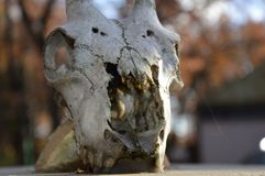 Zoom on a animal Skull. On a post stock photos