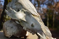 Zoom on a animal Skull. On a post royalty free stock photo