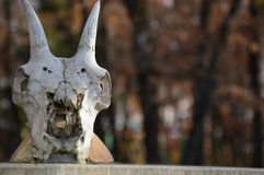 Zoom on a animal Skull. On a post royalty free stock image