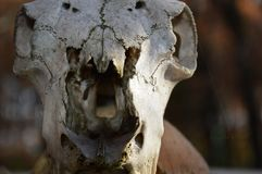 Zoom on a animal skull. South of france royalty free stock image