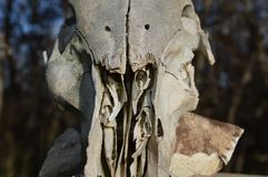 Zoom on a animal skull. South of france royalty free stock photography