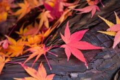 Zoom Autumn Maple. On tree royalty free stock photos