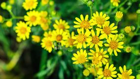 Zoom in on yellow flowers stock video