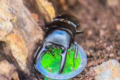 Zoom in the Black Scarab Beetle Eating Stock Images