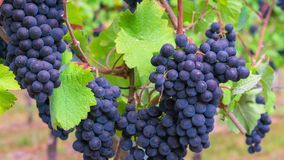Zoom in on blue grapes. On the yineyard stock footage