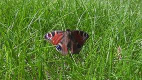 Zoom in the dead butterfly stock footage
