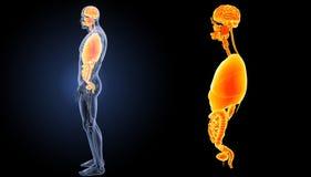 Zoom degli organi umani con la vista di laterale di anatomia Immagini Stock Libere da Diritti