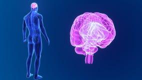 Zoom del cervello umano con anatomia royalty illustrazione gratis
