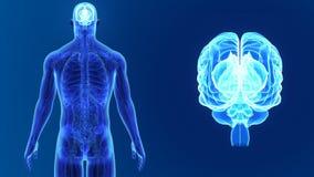 Zoom del cervello umano con anatomia illustrazione vettoriale