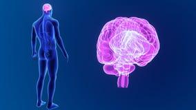 Zoom del cervello umano con gli organi royalty illustrazione gratis