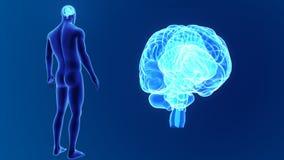 Zoom del cervello umano con il corpo stock footage