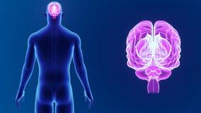 Zoom del cervello umano con il corpo archivi video