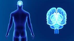 Zoom del cervello umano con il corpo illustrazione vettoriale