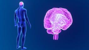 Zoom del cervello umano con lo scheletro stock footage