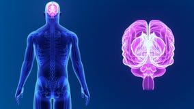 Zoom del cervello umano con lo scheletro illustrazione di stock