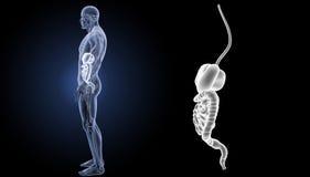 Zoom dell'apparato digerente con la vista di laterale di anatomia immagine stock