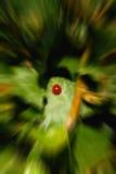 Zoom della coccinella Fotografia Stock